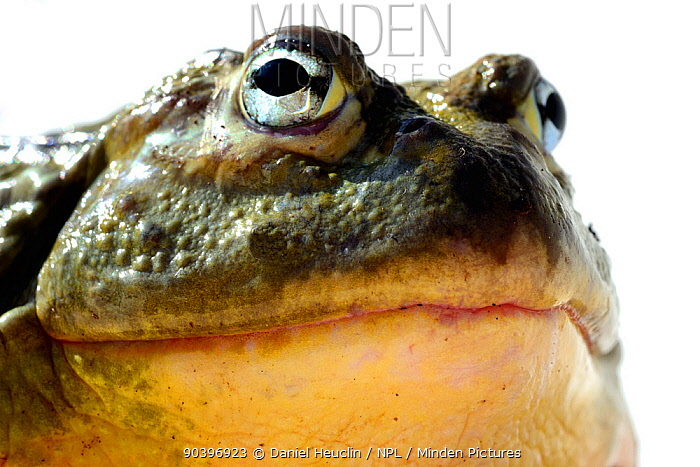 African bullfrog (Pyxicephalus adspersus) captive from South Africa  -  Daniel Heuclin/ npl