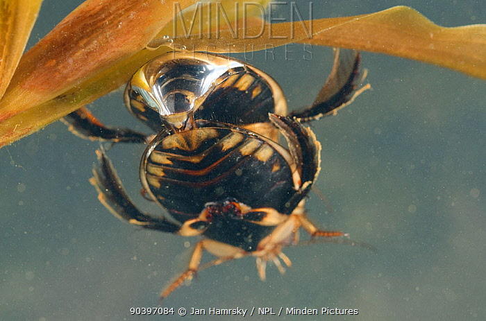 Lesser diving beetles (Acilius sulcatus) mating pair, Europe, May, controlled conditions  -  Jan Hamrsky/ npl