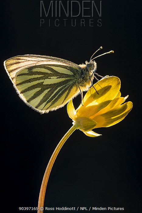 Green-veined white butterfly (Artogeia, Pieris napi) resting on Lesser celandine (Ranunculus ficaria) flower, Cornwall, UK, May  -  Ross Hoddinott/ npl