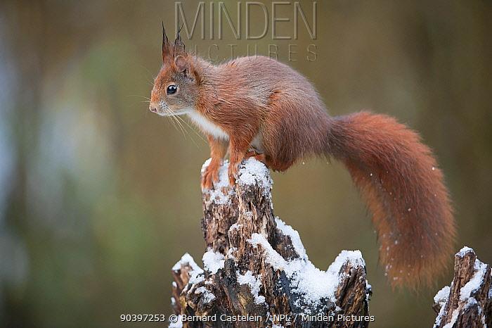 Red Squirre (Sciurus vulgaris) on snowy snag, Brasschaat, Belgium  -  Bernard Castelein/ npl