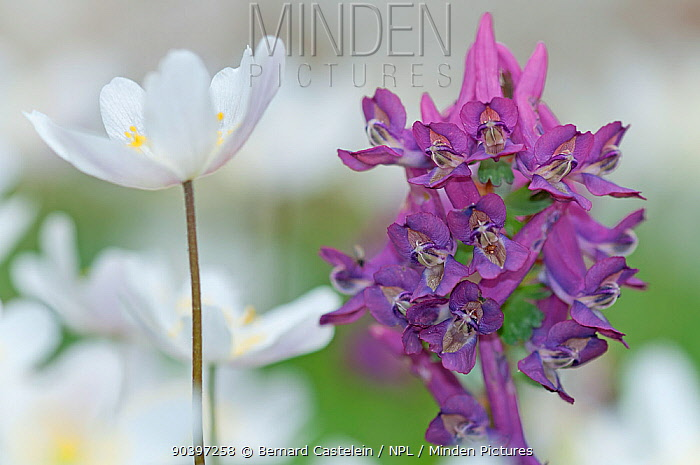 Wood anemone (Anemone nemorosa) and Corydalis flowers, (Corydalis solida), Staatsbossen, Texel, the Netherlands, April  -  Bernard Castelein/ npl