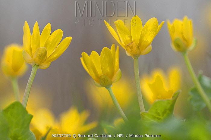 Lesser celandine flowers (Ranunculus ficaria), Staatsbossen, Texel, the Netherlands, April  -  Bernard Castelein/ npl