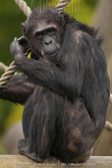 Common Chimpanzee (Pan troglodytes) captive at Edinburgh Zoo, UK  -  Mark Bowler/ npl