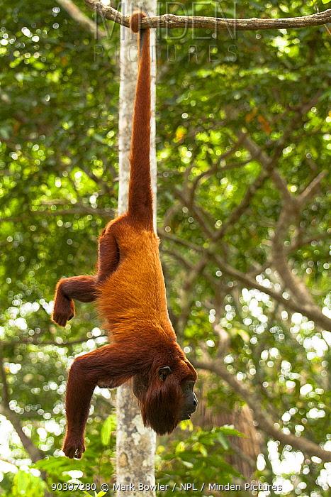 Red Howler Monkey (Alouatta seniculus) hanging by prehensile tail Captive at Pilpintuwasi Animal Orphanage  -  Mark Bowler/ npl