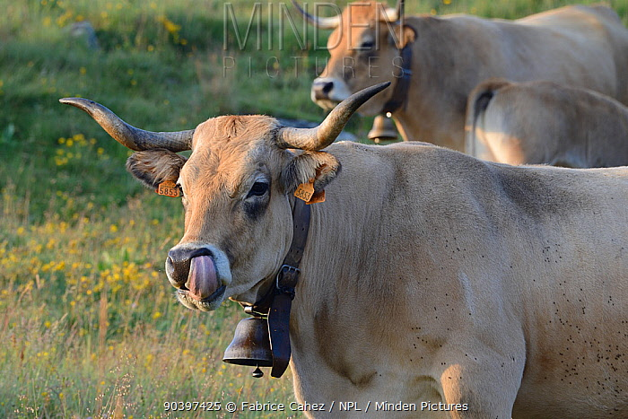 Aubrac cow with bell licking its own nose, Aubrac, France, July  -  Fabrice Cahez/ npl
