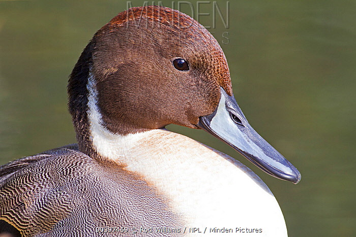 Male Pintail (Anas acuta) captive at Barn Elms Wildfowl and Wetlands Trust, October  -  Rod Williams/ npl