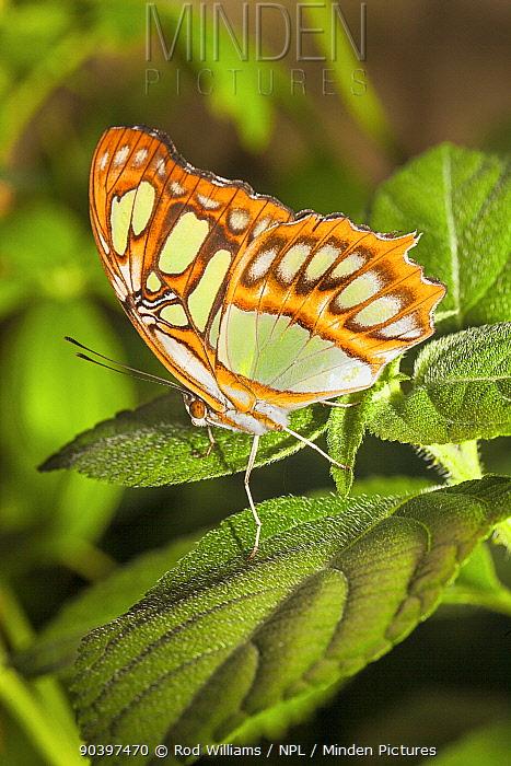 Malachite Butterfly (Siproeta stelenes) captive, native from North America to Brazil,  -  Rod Williams/ npl