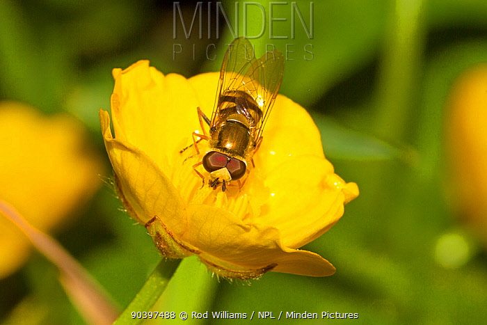 Hoverfly (Syrphini) on buttercup, Lewisham, London, England, UK, June  -  Rod Williams/ npl