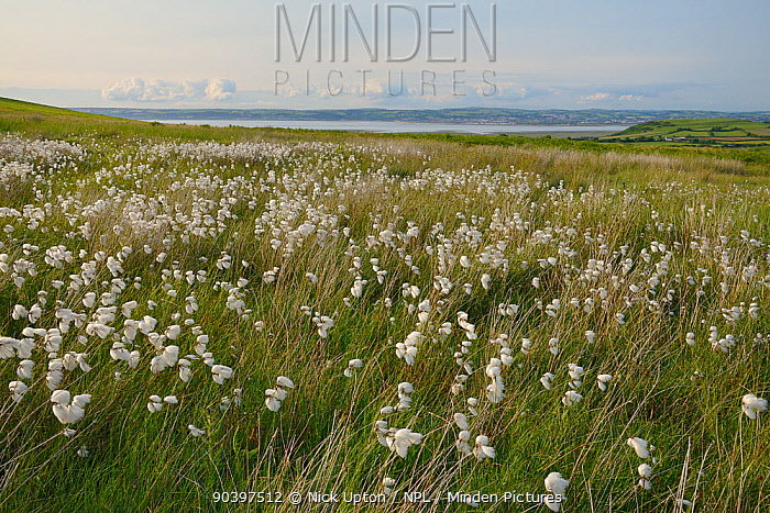 Dense stand of Common cottongrass (Eriophorum angustifolium) flowering on damp moorland, the Gower peninsula, Wales, UK, June  -  Nick Upton/ npl