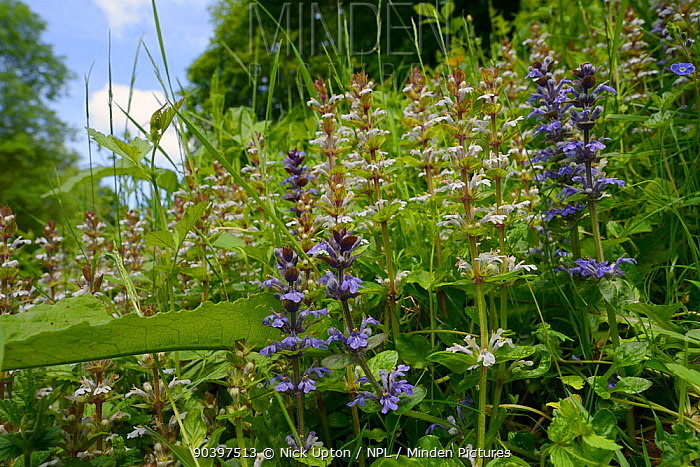 Bugle (Ajuga reptans) white and blue form flowering in a dense stand on a woodland edge, Wiltshire, UK, June  -  Nick Upton/ npl