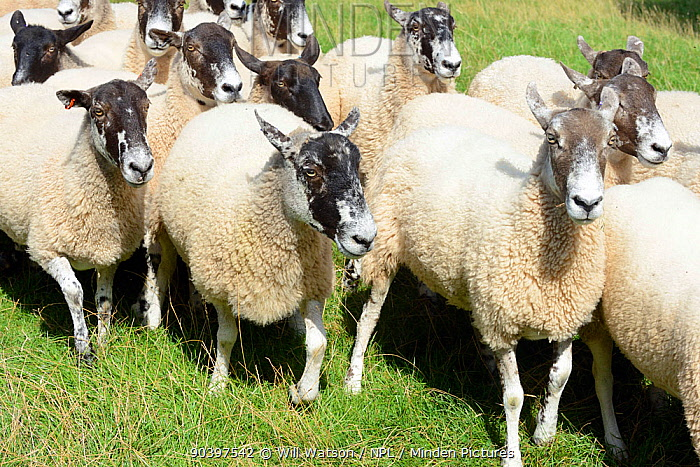 Running flock of Welsh Mule ewes, crossbred from Bluefaced Leicester and Welsh Mountain sheep, Herefordshire, England, UK, August  -  Will Watson/ npl