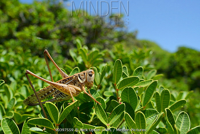 Female White-faced wartbiter bush cricket, (Decticus albifrons), in a bush, Crete, May  -  Nick Upton/ npl