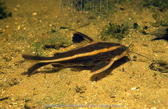 Striped Raphael (Platydoras armatulus) Amazon Basin, Brazil  -  Michael Pitts/ npl