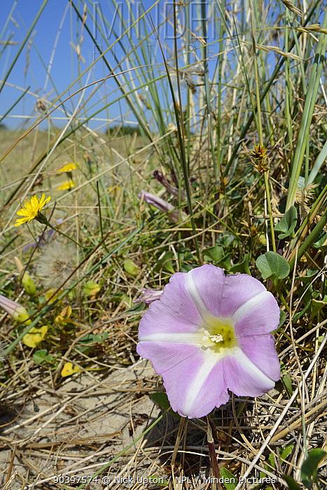 Sea bindweed, Beach Morning Glory (Calystegia soldanella) flowering on coastal sand dunes among Marram grass (Ammophila arenaria) and Lesser hawkbit (Leontodon saxatilis), Studland, Dorset, UK, July  -  Nick Upton/ npl
