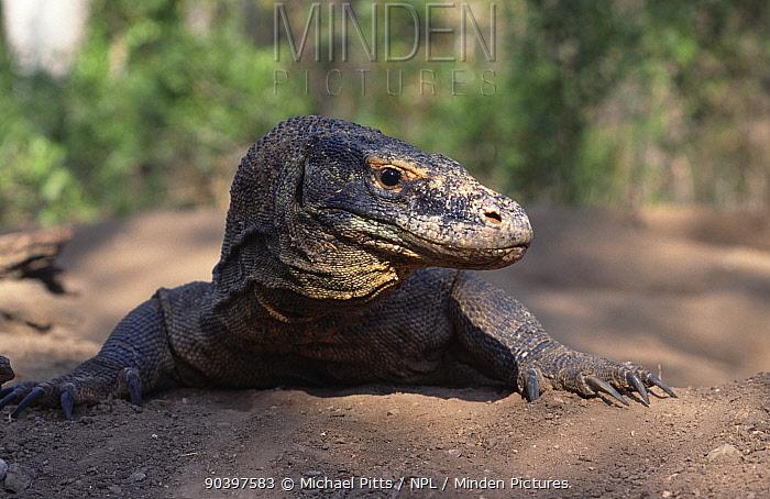 Komodo Dragon (Varanus komodensis) portrait, Komodo Island, Indonesia  -  Michael Pitts/ npl