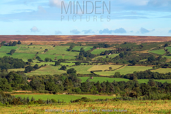 View of countryside with farm buildings, grazing pasture and high moorland in distance, North York Moors National Park, England, UK, September 2013  -  Gary K. Smith/ npl