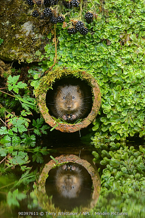 Water vole (Arvicola amphibius) feeding on blackberries in pipe, Kent, England, UK, September Contrived situation  -  Terry Whittaker/ npl