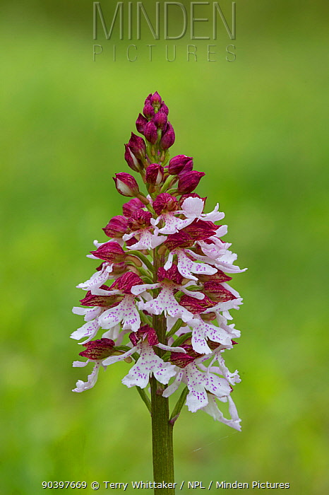 Lady orchid (Orchis purpurea) in flower, Kent, UK, May  -  Terry Whittaker/ npl