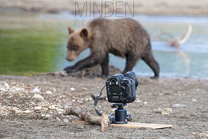 Kamchatka brown bear (Ursus arctos beringianus) with remote camera set up, Kamchatka, Far East Russia, August  -  Sergey Gorshkov/ npl