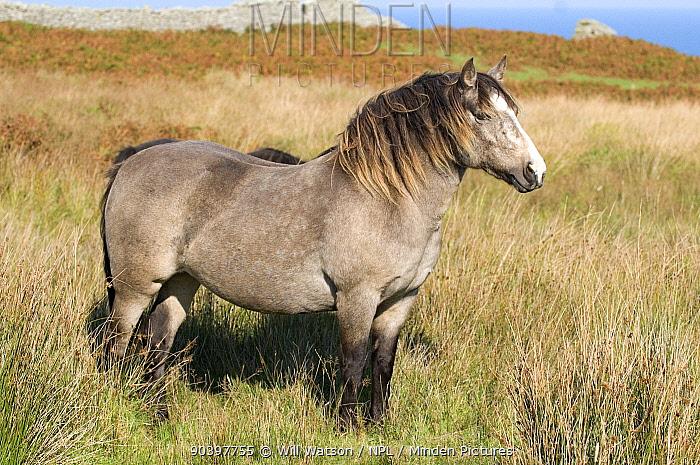Lundy Pony (Equus caballus) amongst soft rush (Juncus effusus), Lundy Island, Bristol Channel, UK, September 2009  -  Will Watson/ npl