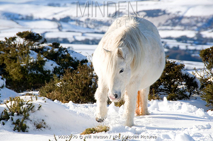 Domestic horse, grey Welsh Pony (Equus caballus) in digging for grass through snow, Hergest Ridge, Wales, UK February 2009  -  Will Watson/ npl