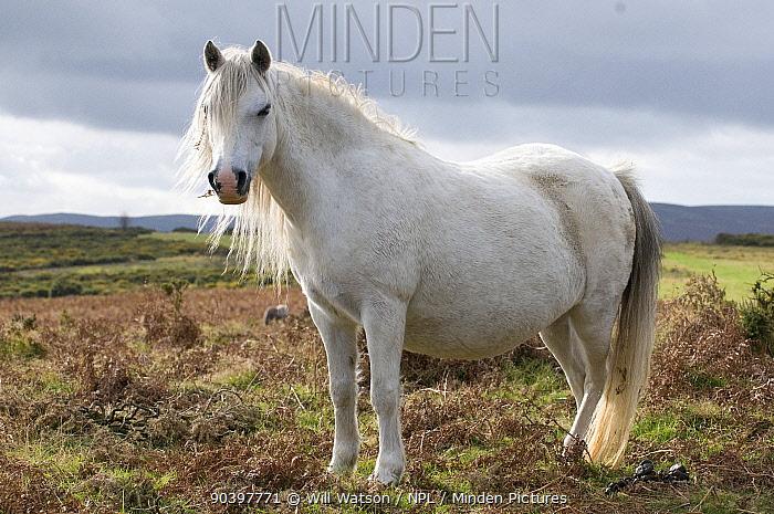 Domestic horse, grey Welsh pony (Equus caballus) on rough hill pasture with dead bracken (Pteridium aquilinum) and gorse (Ulex europaeus), Hergest Ridge, England, UK February 2009  -  Will Watson/ npl