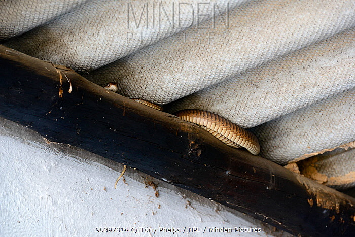 Boomslang (Dispholidus typus) adult female snake under roof beam in building deHoop Nature Reserve, Western Cape, South Africa  -  Tony Phelps/ npl