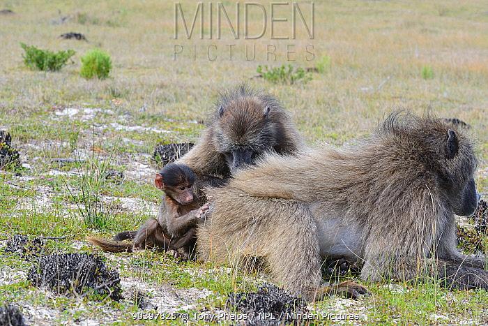 Chacma Baboon (Papio hamadryas ursinus) grooming session DeHoop Nat Res Western Cape, South Africa  -  Tony Phelps/ npl