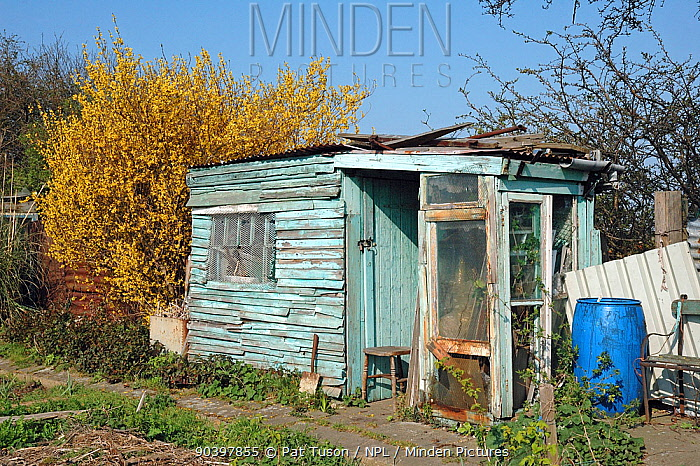 Allotment shed made from recycled materials, with a Forsythia shrub to the left, Manor Garden Allotments, Lea Valley, London Borough of Hackney, UK These allotments were destroyed to make way for the Olympic Park April 2007  -  Pat Tuson/ npl
