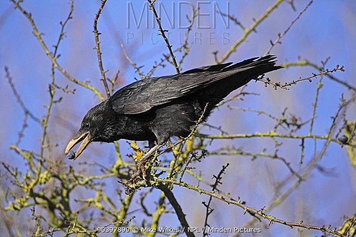 Rook (Corvus frugilegus) juvenile eating sloes, Warwickshire, England, UK, January  -  Mike Wilkes/ npl