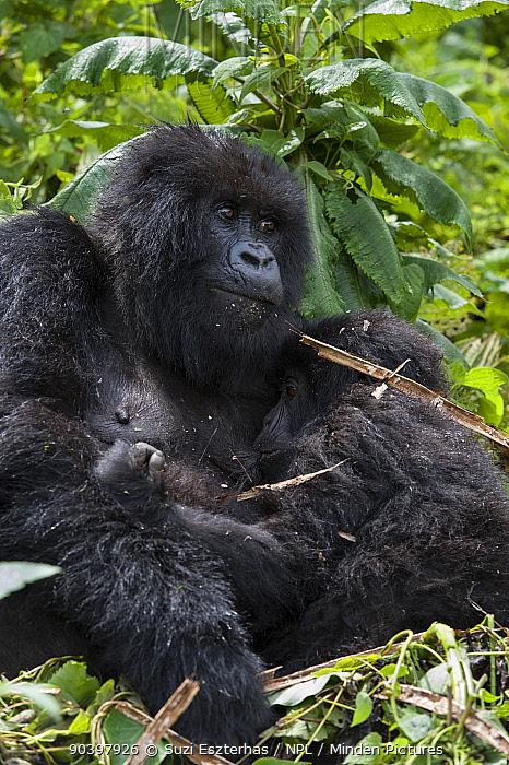 Mountain Gorilla (Gorilla gorilla beringei) mother suckling baby age 3 years Parc National des Volcans, Rwanda Endangered species  -  Suzi Eszterhas/ npl