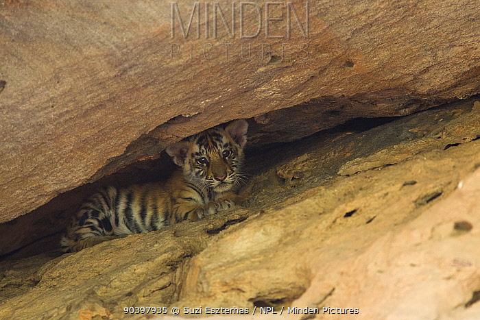 Bengal Tiger (Panthera tigris tigris) cub age 5 weeks at den Bandhavgarh National Park, India  -  Suzi Eszterhas/ npl