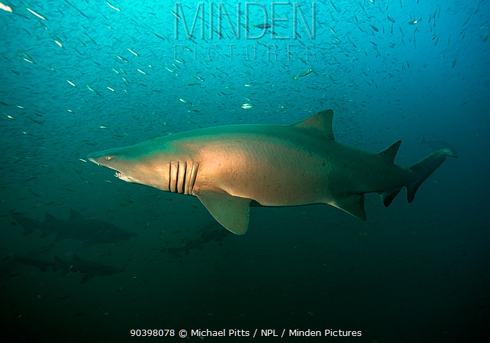 Sand tiger shark (Carcharias taurus) offshore from Cape Lookout, North Carolina, USA, September  -  Michael Pitts/ npl