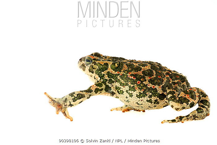 Green toad (Bufo viridis) from Lake Coghinas, an artificial lake, in northern Sardinia, Italy, April Captive  -  Solvin Zankl/ npl