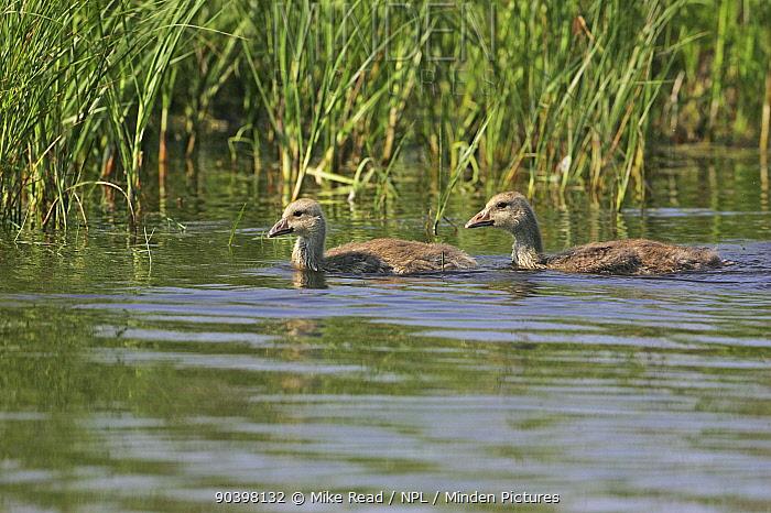 Greylag goose (Anser anser) juveniles swimming in marshland pool near Tiszaalpar, Hungary, June  -  Mike Read/ npl