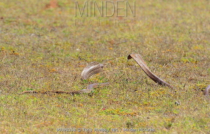 Cape Cobras (Naja nivea) in aggressive encounter with each other, DeHoop Nature Reserve, Western Cape, South Africa, December  -  Tony Phelps/ npl