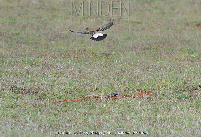 Cape Cobra (Naja nivea) hunting, mobbed by Capped wheatear (Oenanthe pileata) deHoop Nature Reserve, Western Cape, South Africa, December  -  Tony Phelps/ npl