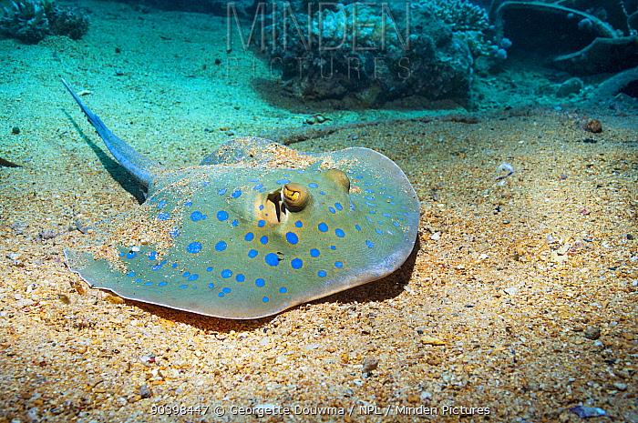 Bluespotted ribbontail ray (Taeniura lymna) lying on sandy bottom Egypt, Red Sea  -  Georgette Douwma/ npl
