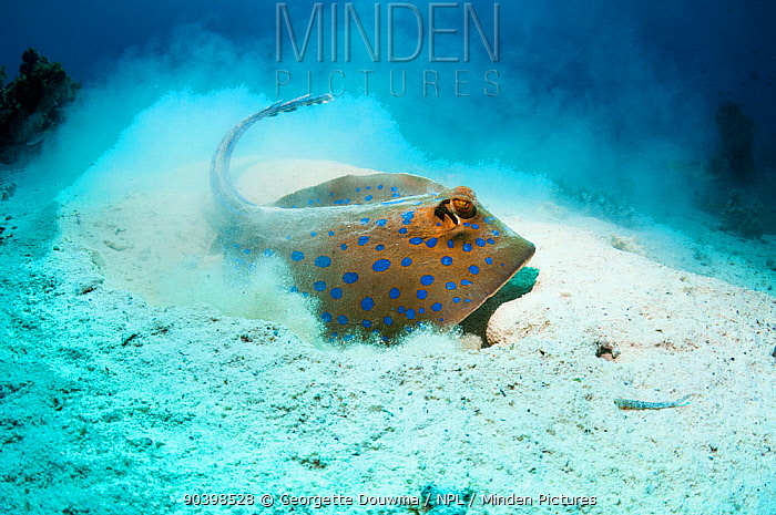 Bluespotted ribbontail ray (Taeniura lymma) foraging in sandy sea bottom to find molluscs or worms Egypt, Red Sea  -  Georgette Douwma/ npl