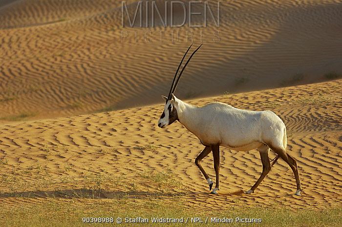 Arabian Oryx (Oryx leucoryx) Dubai Desert Conservation Reserve, Dubai, UAE  -  Staffan Widstrand/ npl