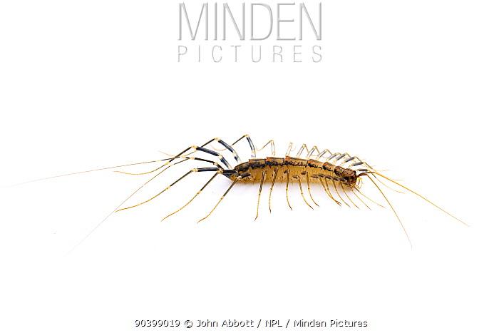 House Centipede (Scutigera coleoptrata) Cibolo Creek, Bexar, Guadalupe County line, Texas October  -  John Abbott/ NPL