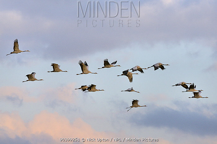 Flock of Common, Eurasian cranes (Grus grus) released by the Great Crane Project onto the Somerset Levels flying in dawn light, Aller Moor, Somerset, UK, October  -  Nick Upton/ npl