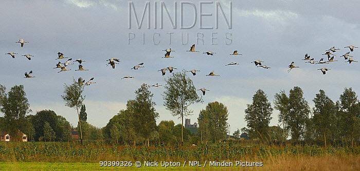 Flock of Common, Eurasian cranes (Grus grus) released by the Great Crane Project onto the Somerset Levels flying past Barrow Mump, Burrowbridge, Somerset, UK, October  -  Nick Upton/ npl