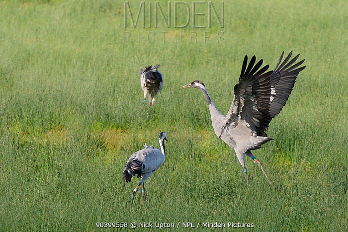 Mennis, a Common, Eurasian crane (Grus grus) released by the Great Crane Project onto the Somerset Levels, dancing near two other released birds, Elle and Wendy, on marshland, Gloucestershire, UK, October 2013  -  Nick Upton/ npl
