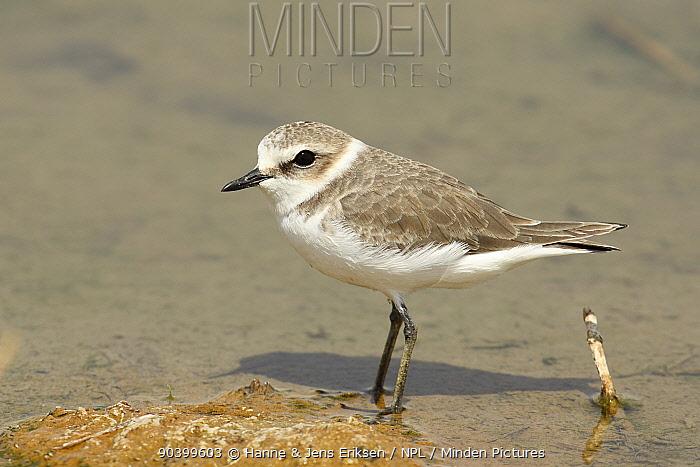 Kentish plover (Charadrius alexandrinus) Oman, September  -  Hanne & Jens Eriksen/ npl