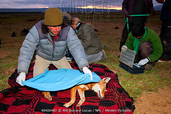 A researcher from the Ethiopian Wolf Conservation Programme (EWCP) covers a sedated female Ethiopian Wolf (Canis simensis) in blanket, Bale Mountains National Park, Ethiopia  -  Will Burrard-Lucas/ npl