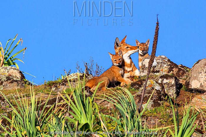 Ethiopian wolf (Canis simensis) interaction between pups and older sibling, Bale Mountains National Park, Ethiopia  -  Will Burrard-Lucas/ npl