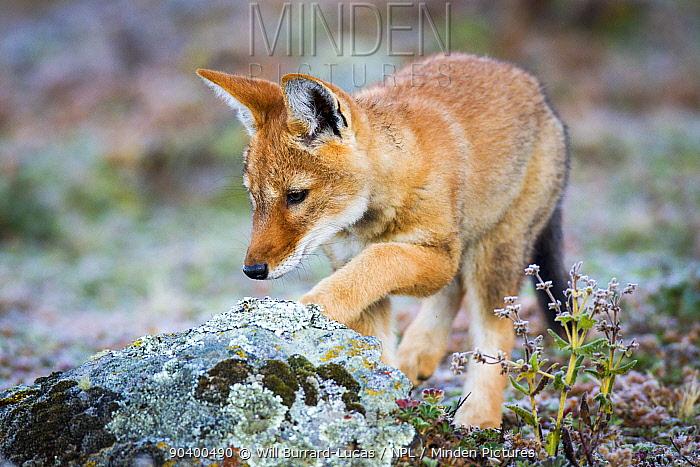 Ethiopian Wolf (Canis simensis) pup exploring, Bale Mountains National Park, Ethiopia  -  Will Burrard-Lucas/ npl