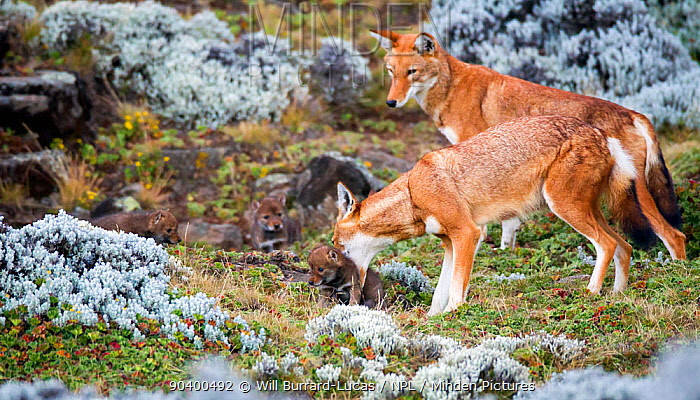 Ethiopian Wolf (Canis simensis) mother picking up baby, Bale Mountains National Park, Ethiopia  -  Will Burrard-Lucas/ npl