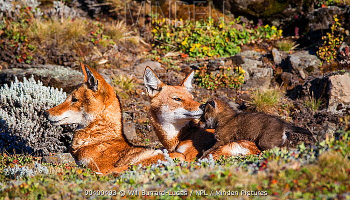 Ethiopian Wolf (Canis simensis) family with tender moment between mother and pup, Bale Mountains National Park, Ethiopia  -  Will Burrard-Lucas/ npl